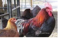 Ameraucana hen and BCM rooster
