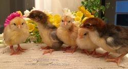 Upcoming new breed!!