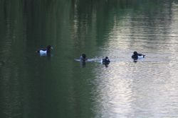 Tufted Ducks on Canberra. CN10.04.12