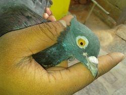 blue eyed guldhar-4