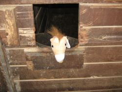 Roudy In His Stall
