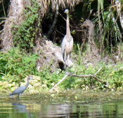 Great Heron and Blue Heron
