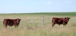 Bonsmara calves on the prairie