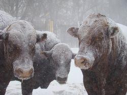 Bonsmara bulls in a snowstorm