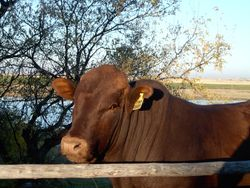 Bonsmara bull at home