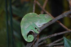 Baby Deremensis Female