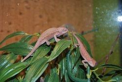 Two male CB chameleons