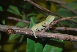 Male carpet chameleon