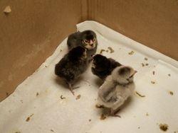 My First Chicks