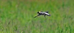 Male Bobolink Flying