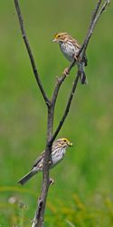 Savannah Sparrows 1