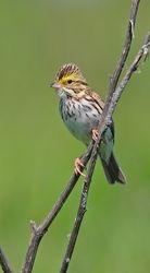 Savannah Sparrows 2
