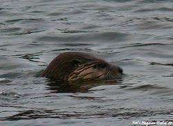 Olallie Otters By Grant Lansing - 2007