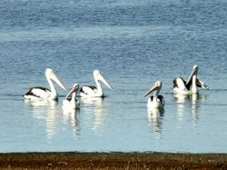 Pelicans on Tinaroo Dam
