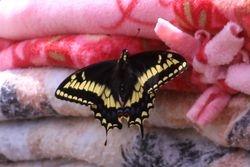A gorgeous swallowtail
