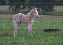 Foaly 1
