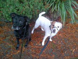 Molly lab mix & Greta terrier