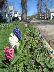 RED WHITE AND BLUE HYACINTHS MARCH 2012