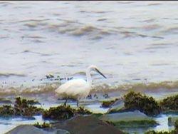 egret on kilve beach