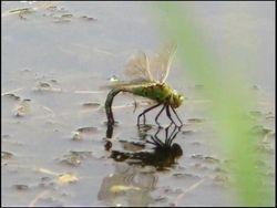 Emperor dragonfly - female