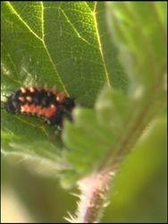 mature ladybird larvae