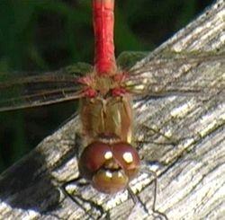 dragonfly at Greylake RSPB
