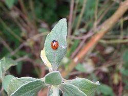Native 7 spot ladybird