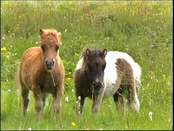 Shetland Creche