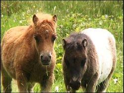 Shetland foals