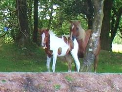 Quantock mare and foal