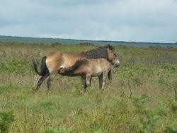 Exmoor foal feeding