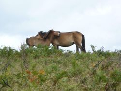 Exmoor Mother and foal grooming