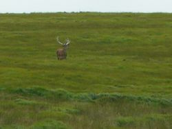 Stag - 1 of a group of 4 seen in same area
