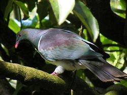 Kereru,  Wood Pigeon