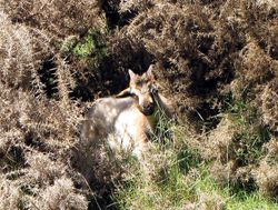 Young Goat Hiding in Gorse
