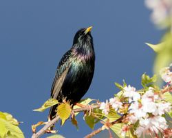 Starling- shot taken from our garden