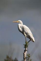 The Kotuku-White Heron