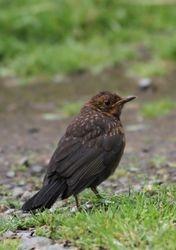 Young Black Bird