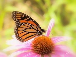 Monarch- Butterfly