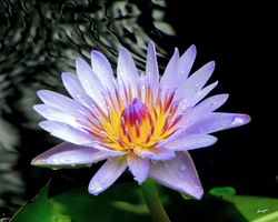 Purple water Lily - Hawaii