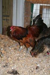quail d'anver cock