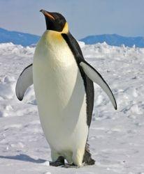 Emperor penquin