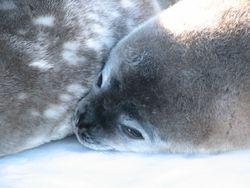 Weddel seal pup