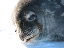 Weddel seal