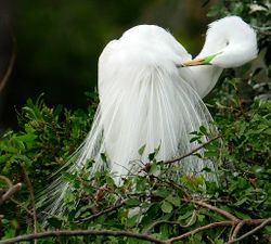 Pruning Egret by Judy Lathrop  (AW)