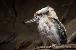 Kookaburra by Linda Rutherford (AW)