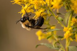 Sleeping Bumble Bee by Linda Rutherford  (HM)