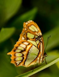 Butterfly in Leaves by Terry Sposito (AW)