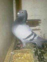 Breeder from Boyet Medina