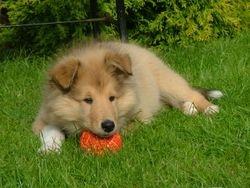 Brecon as a puppy